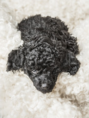 Small curly black poodle pup resting