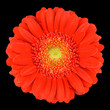 Macro of Orange Gerbera Flower Isolated on Black