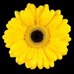 Close-up of Yellow Gerbera Flower Macro Isolated on Black