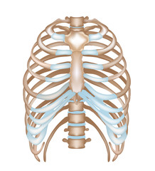Thorax- ribs, sternum, vertebral column