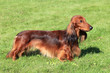 Dachshund Standard Long-haired Red dog