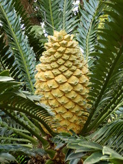 Female cone growing on the Lebombo Cycad
