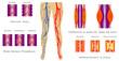 Vascular System Legs
