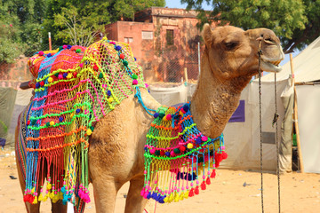 decorated camel during festival in Pushkar India
