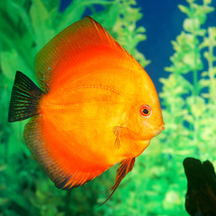 Discus fish Symphysodon spp. in aquarium