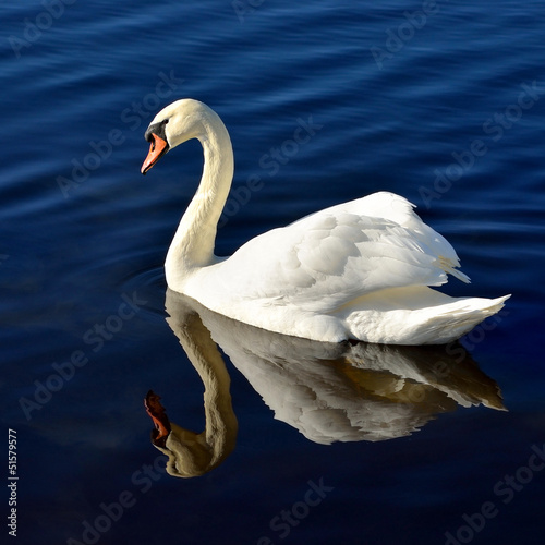 Tuinposter Zwaan white swan in blue water