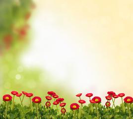 Bellis Hintergrund Frühling