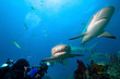 Lemon sharks and underwater photographer