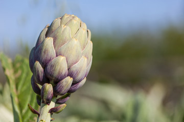 Artichoke plant_II