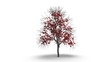 Growing Red Tree on White with Alpha Channel