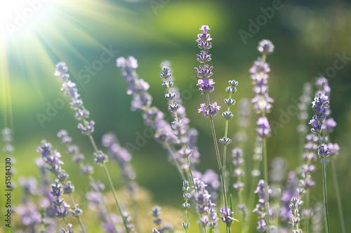 Foto op Aluminium Lavendel beautiful lavenders