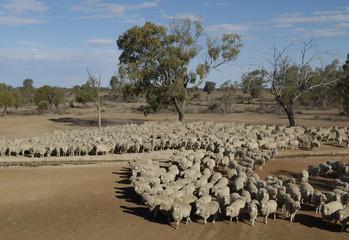 sheep mustering