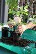 Erde wird in frisch umgepflanzte Tomate gefüllt