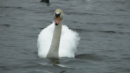 Swan swimming towards camera