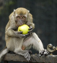 Monkey Biting An Apple