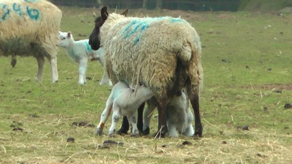 New Born Lamb Suckling Its Mother