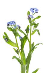 Vergissmeinnicht (Myosotis) Pflanze mit Blüten vor weißem Hint