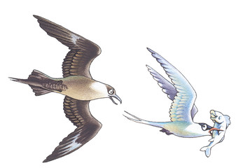 Skua takes away fish from a seagull