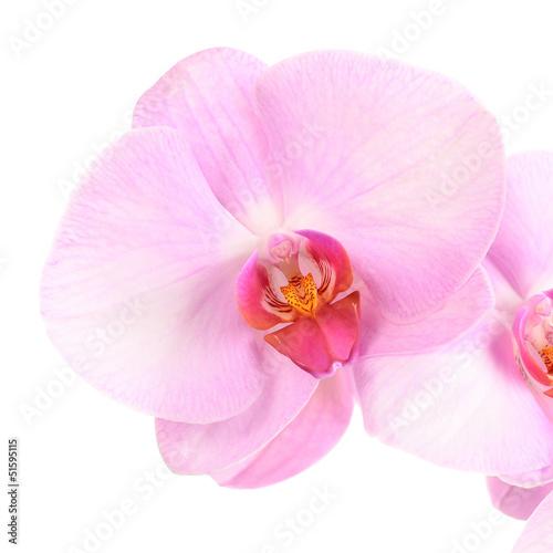 różowy kwiat orchid close-up samodzielnie na białym tle