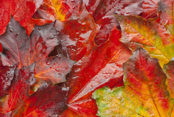Autumn leaves after rain colorful background water droplets.