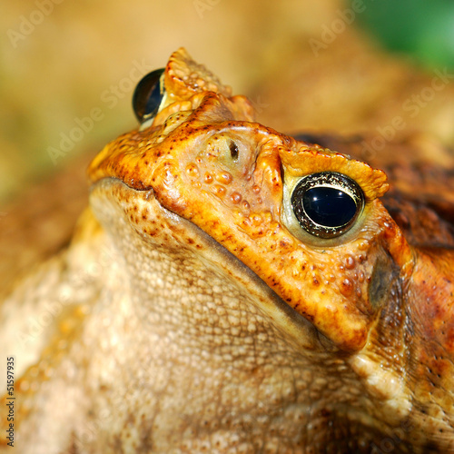large tropical toad close-up