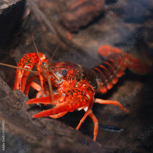 louisiana swamp crayfish Procambarus clarkii
