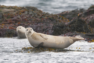 Harbor seal relaxing on a rock in Iceland