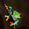 red-eye frog  Agalychnis callidryas in terrarium