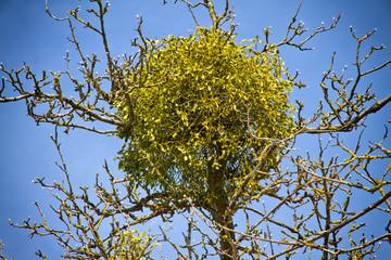 Mistel auf einem Baum