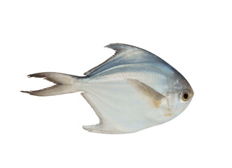Butter fish isolated on white
