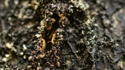 Termite workers repairing a tunnel, Time lapse