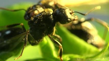Big ant guard