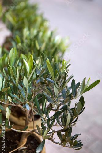 Olivier, olives, arbre, Provence, jardin, plante, jardinage