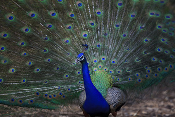 close up of indian peacock  with beautiful tail feathers
