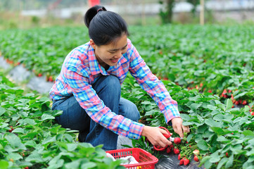 people picking strawberry at field