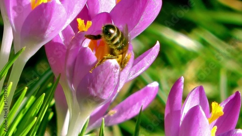 Honey Bee Colllectting Pollen from a Purple Crocus