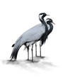 Two Demoiselle Crane Birds