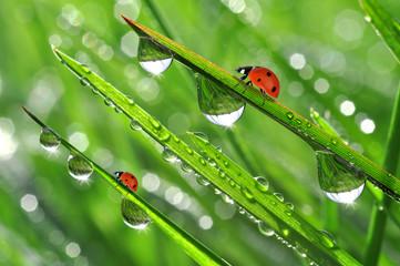 dew and ladybirds