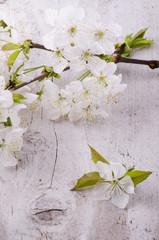 fioritura primaverile dell'albero di ciliegio