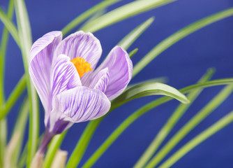 crocus flower against blue background