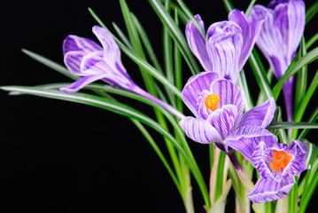 Spring crocus flowers isolated on black background