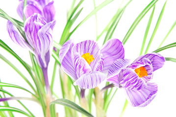 Spring crocus flowers on white background