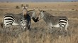 Cape Mountain Zebras (Equus zebra) in open grassland