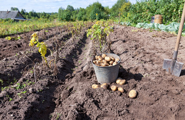 Fresh potatoes in a potatoes field at the Novgorod region of Rus