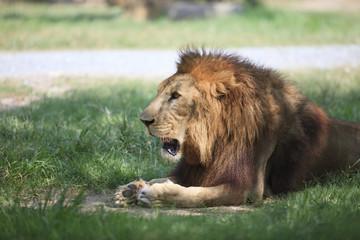 male lion on lying on green grass field