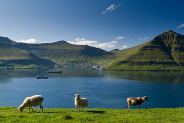 Grazing sheep, Fuglafjordur, Faroe Islands, 2011