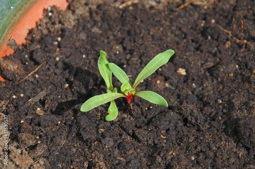 Swiss chard seedlings © Arena Photo UK