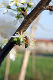 bee and plum tree flowers