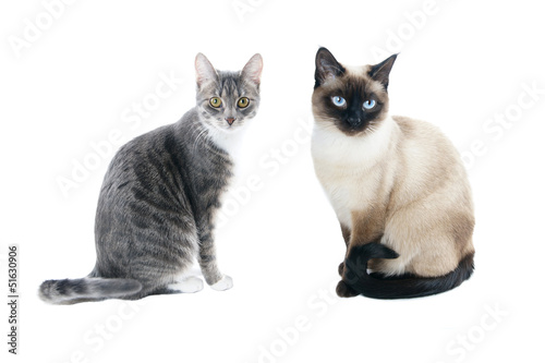 silver grey tabby housecat and seal point siamese cat