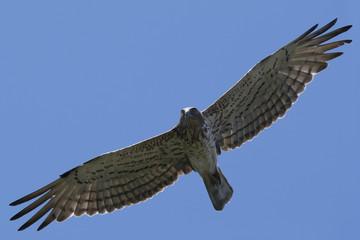 short-toed eagle (Circaetus gallicus) in flight